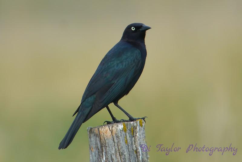 Brewer's Blackbird on stump