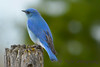 Bluebird on stump