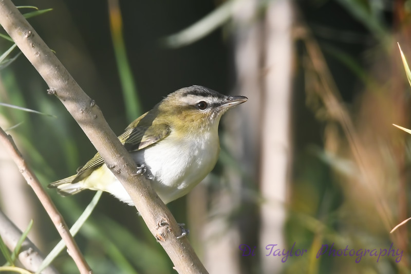 Red Eyed Vireo Sep 7 2018