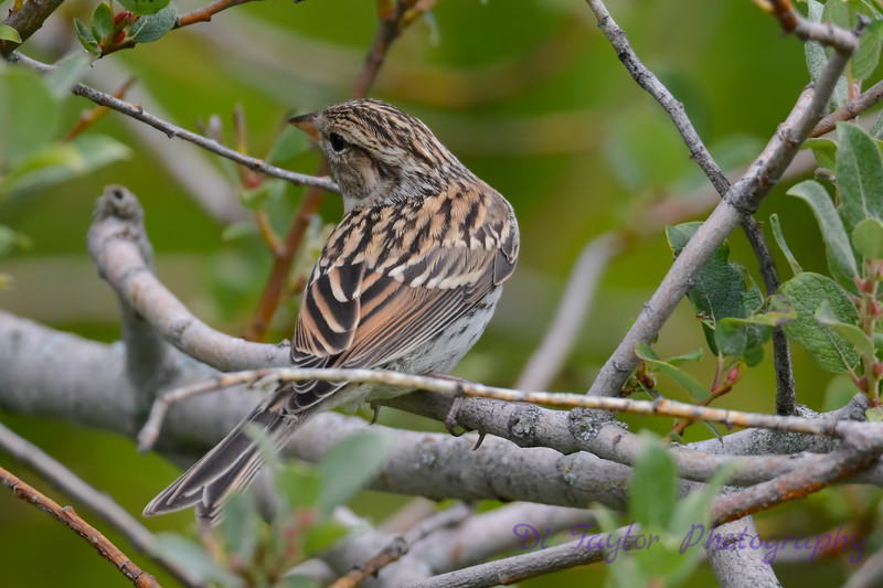 Lincholn Sparrow in tree