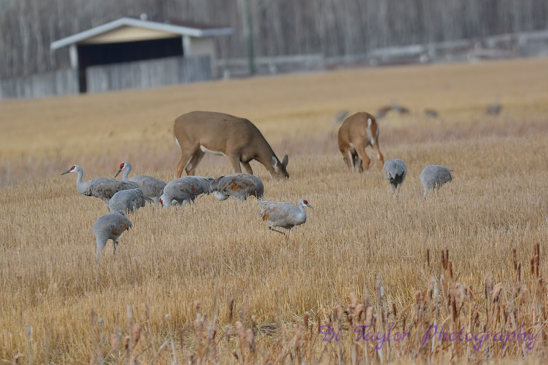 Sandhill Cranes and Deer Oct 28 2017