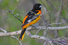 Baltimore Oriole 2 May 31 2017