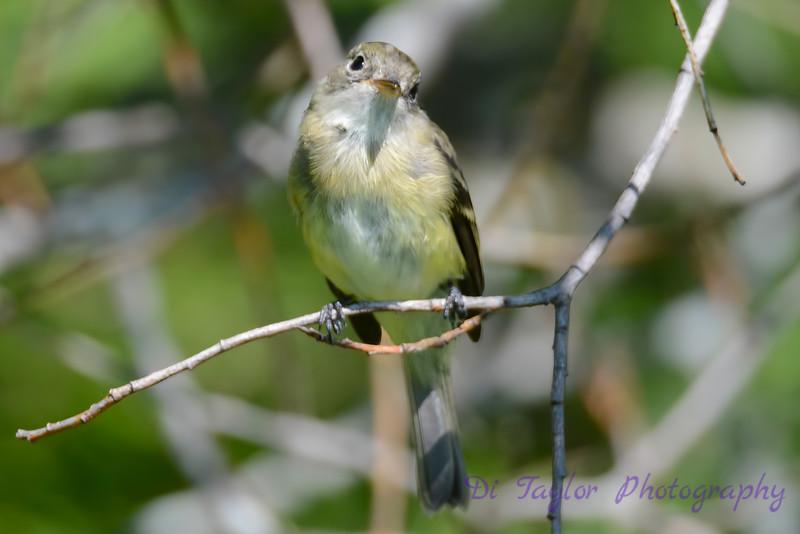Least Flycatcher sitting in Poplar tree 5