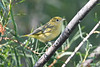 Yellow Warbler 3  Aug 2 2020