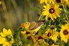 American Goldfinch female  in Daisies Aug 16 2017