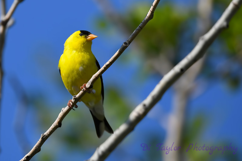 American Goldfinch July 6 2018