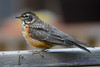 American Robin jeuvenile