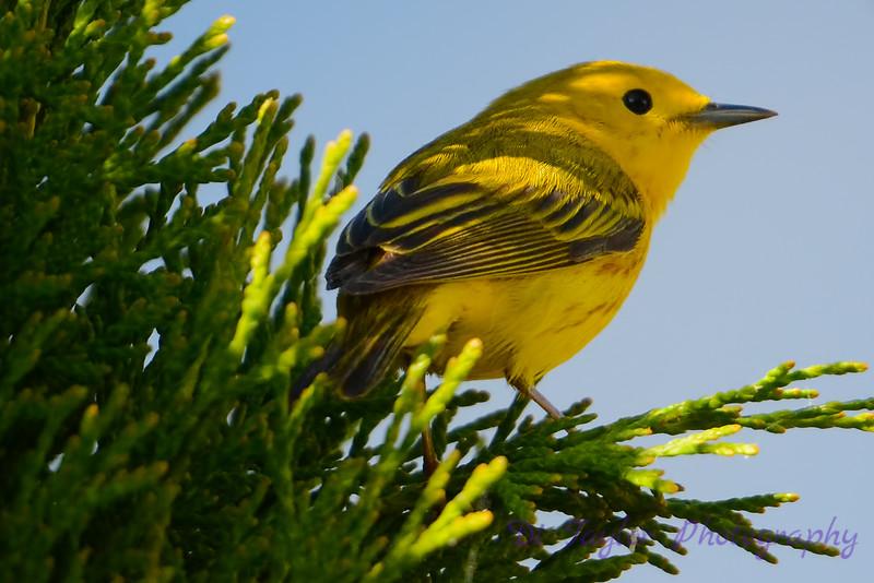 Yellow warbler in cedar 4