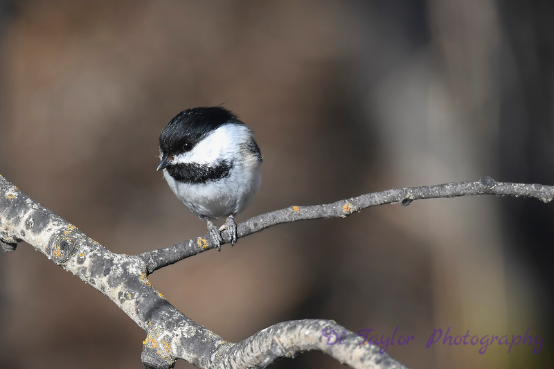 Black capped chickadee 2 April 22 2018