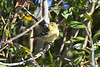 Blackpoll Warbler 4 Sep 16 2020