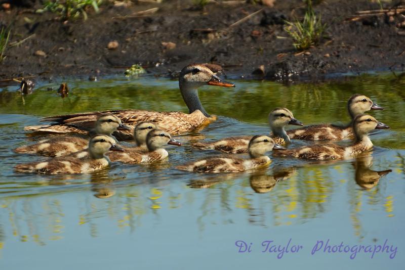 Mallard Female and babies
