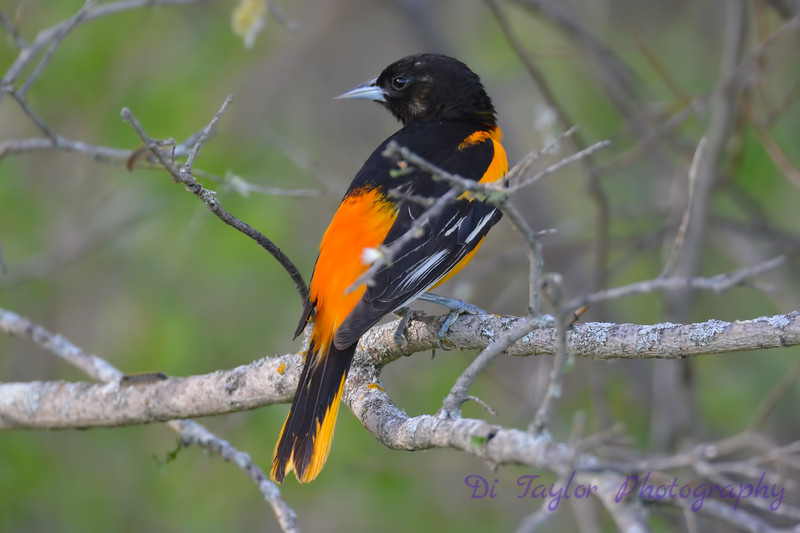 Baltimore Oriole May 31 2017
