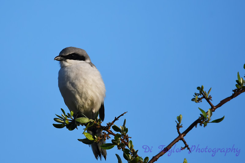 Loggerhead Shrike 26 May 2018