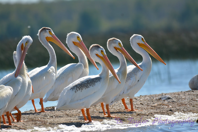 American White Pelicans 3  Aug 26 2017