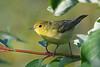 Yellow Warbler 2  5 Aug 2019