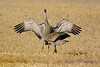 Sandhill Cranes establishing dominance