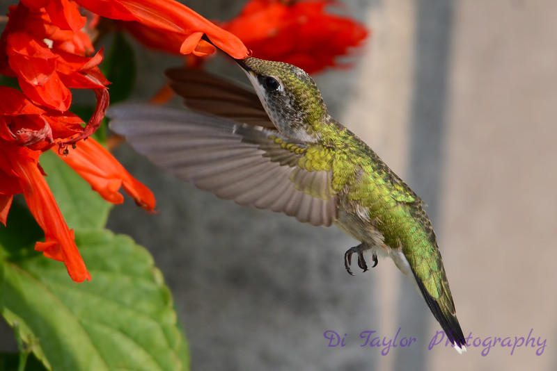 Female Ruby Throated Hummingbird with Red Salvia flower