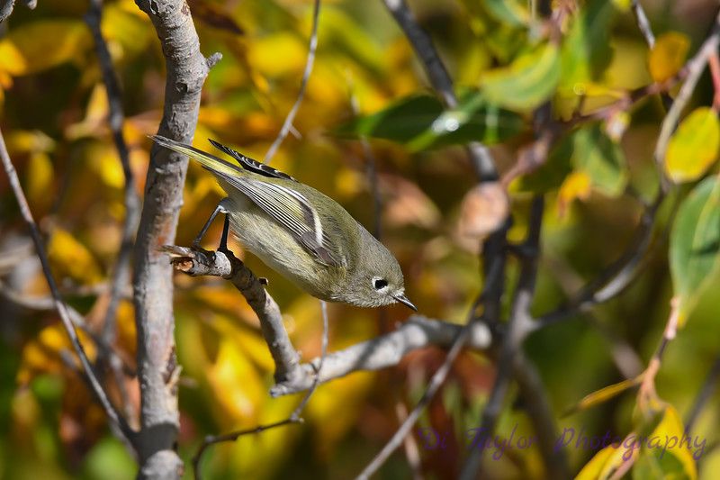 Ruby Crowned Kinglet 5 Sep 21 2020