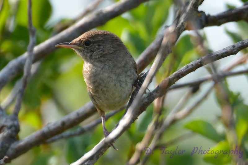 House Wren 3  28 Jul 2017