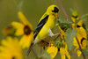 Goldfinch in Black eyed Susans