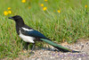 Black Billed Magpie Aug 17 2017
