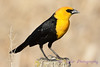 yellow headed blackbird 1jpg