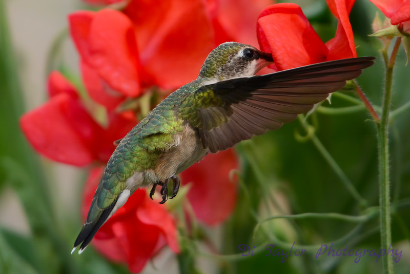 Female Ruby Throated Hummingbird in sweet peas 10