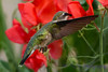 Female Ruby Throated Hummingbird in sweet peas 10