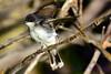Eastern Kingbird jeuvenile 3