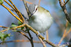Red eyed Vireo 5  Aug 21 2017