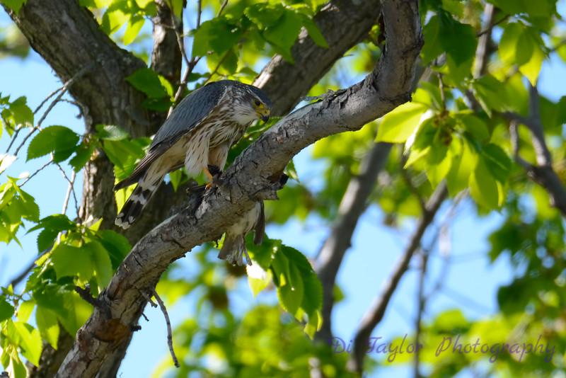 Merlin in tree