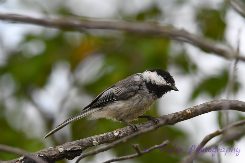 Black Capped Chickadee July 20 2018