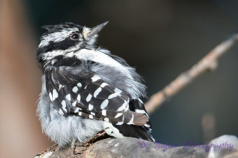 Downy Woodpecker juvenile  4  27 Jul 2017