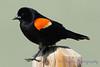 Red Winged Blackbird taking step