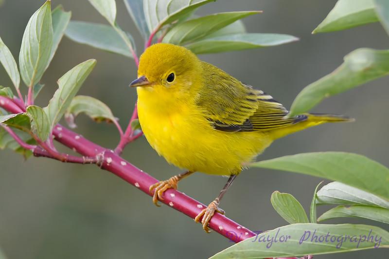 Yellow Warbler Aug 25 2018