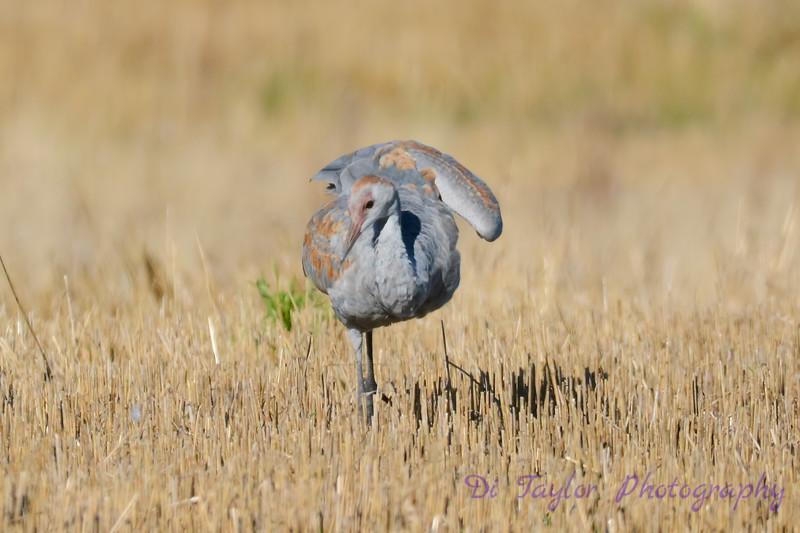 Adolescent Sandhill Crane