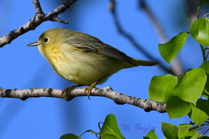 Yellow Warbler 2 May 19 2018