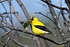 American Goldfinch male 3 July 15 2018 - Copy