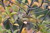 Palm Warbler Sep 12 2020