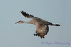 Sandhill Crane in flight 6