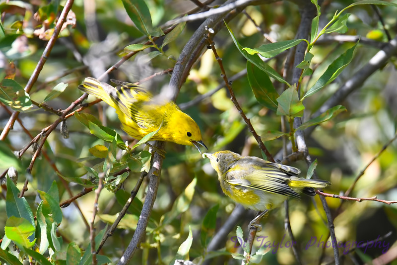 Yellow Warbler male feeding baby 2