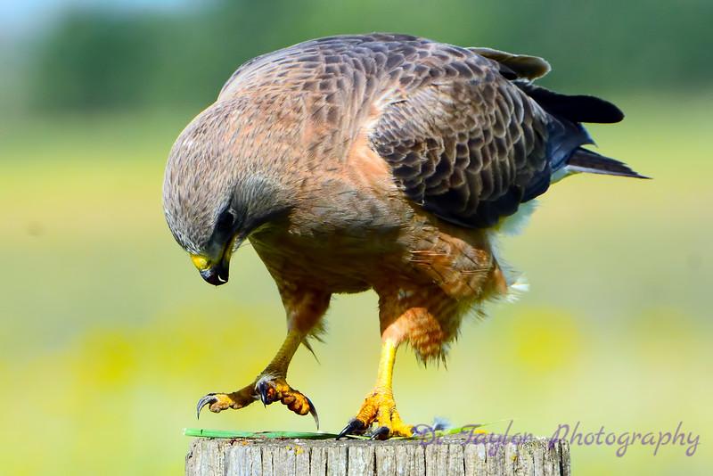 Swainson's Hawk 9
