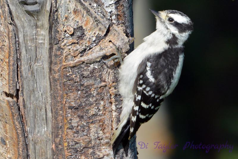 Downey Woodpecker 2