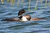 Common Loon adult and juvenile 4  Aug 26 2017