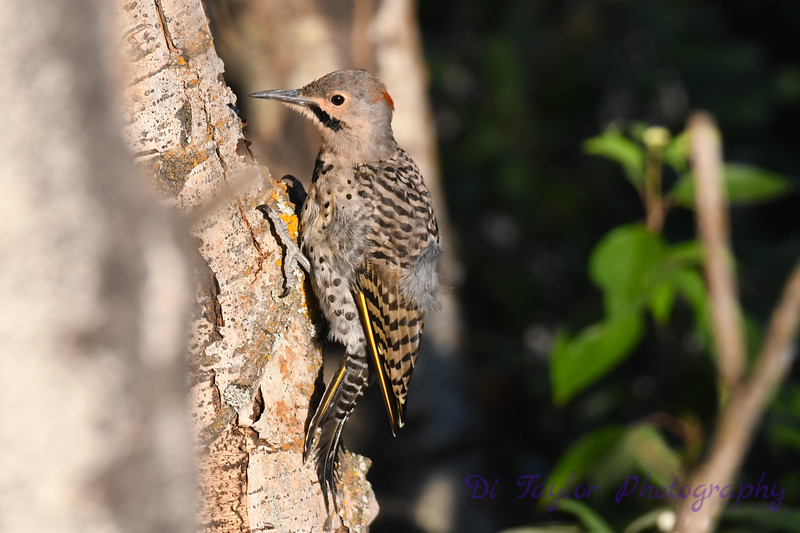 Northern Flicker 4 Aug 5 2020