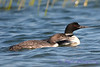 Common Loon adult and juvenile 3  Aug 26 2017