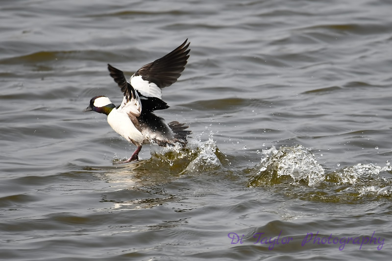 Bufflehead Duck male 2 Jun 2019