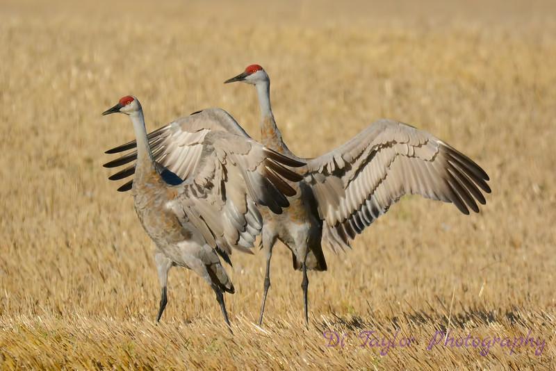 Sandhill Cranes establishing dominance 4