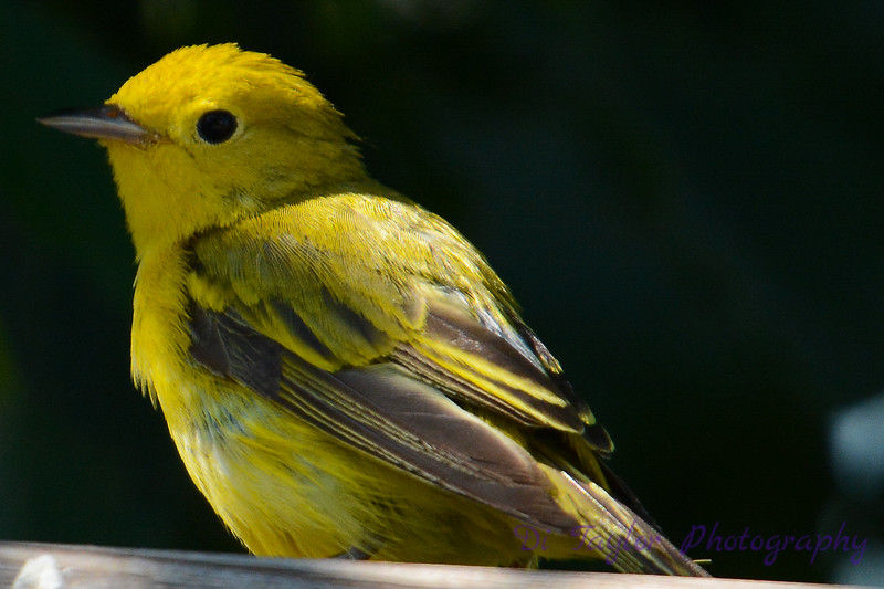 Yellow warbler on fence