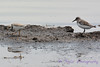 Piping Plover and Sanderling